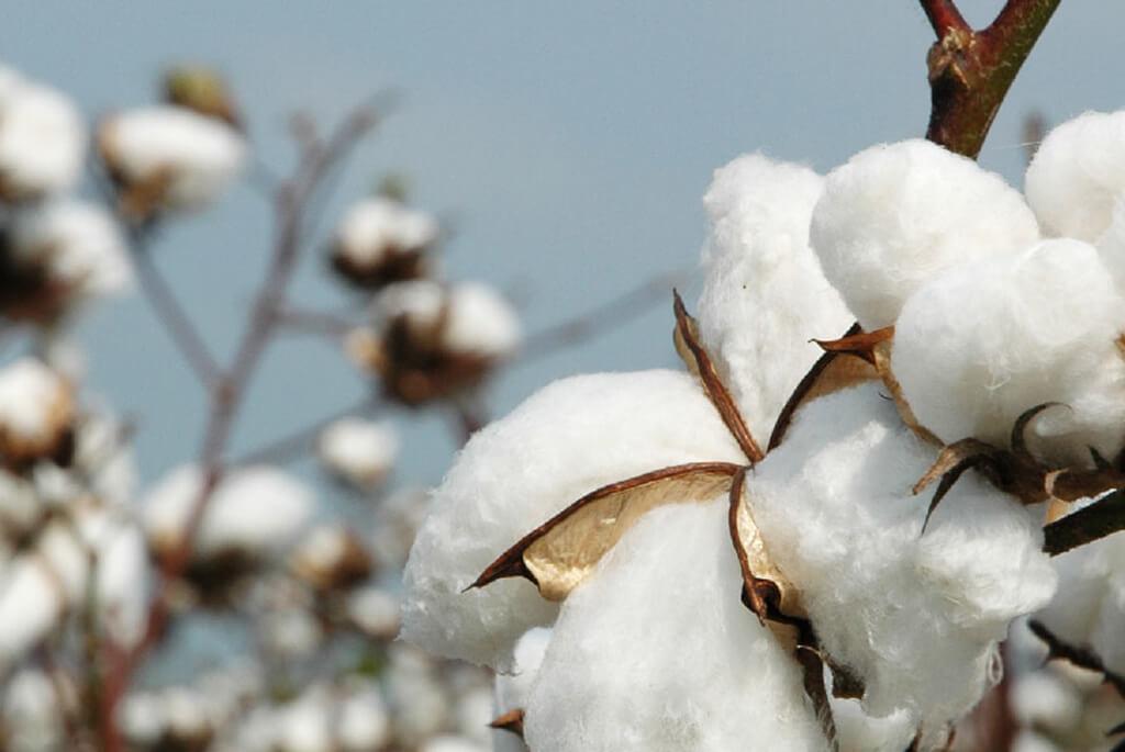 Photo of cotton.
