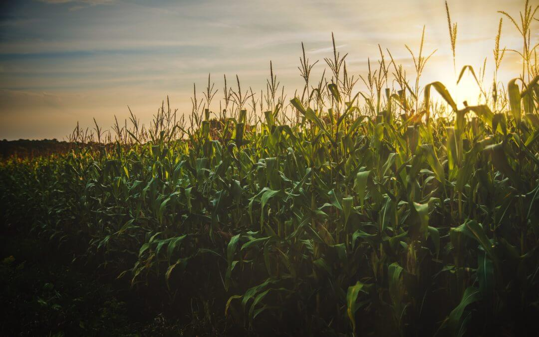 October deadline for Syngenta corn claims fast approaching