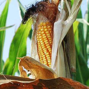 Corn, Wheat, Feed Grains