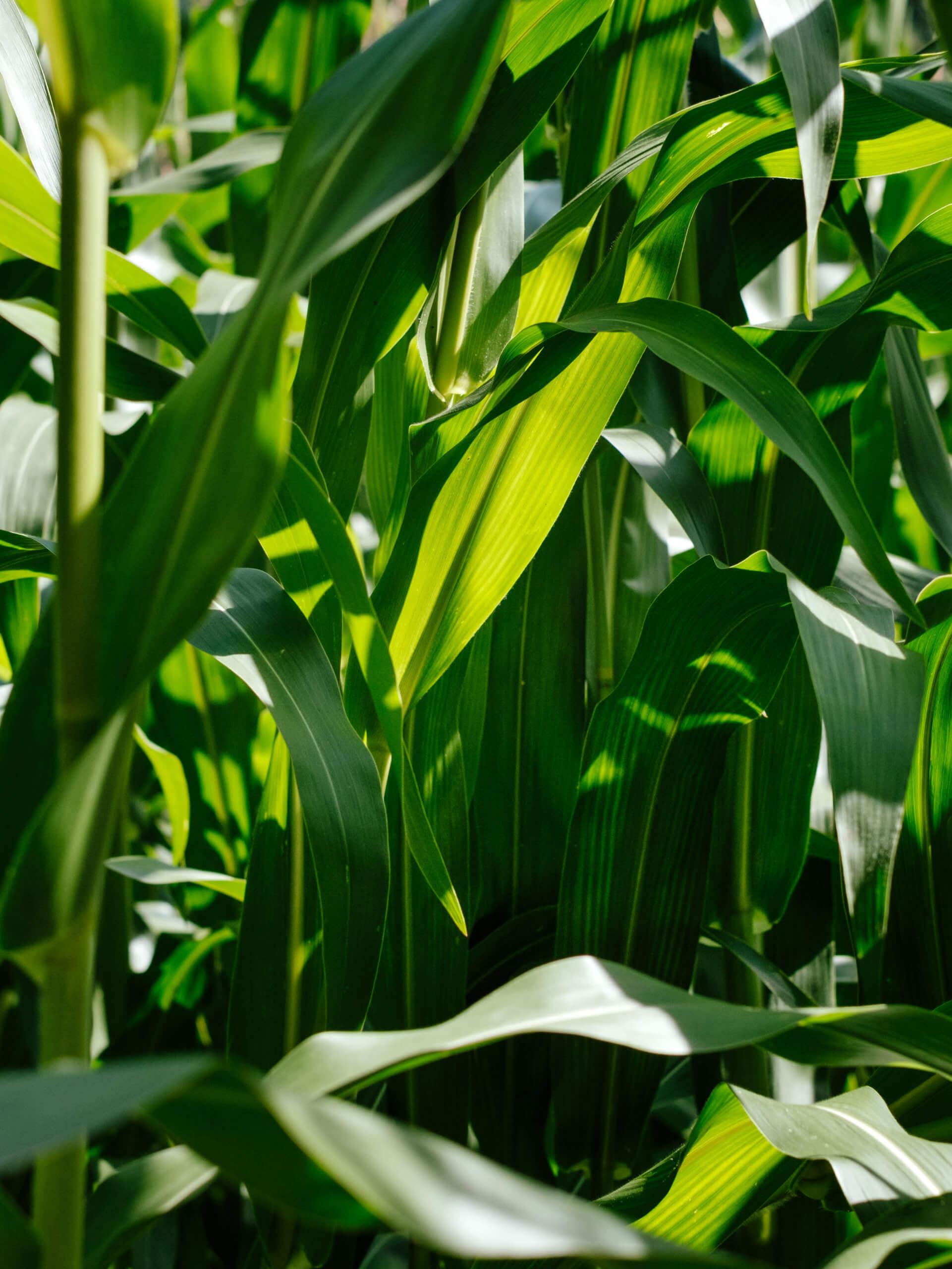 Corn Fiels