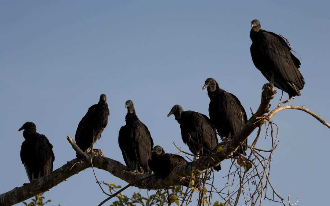 MFBF Issuing Black Vulture Depredation Permits